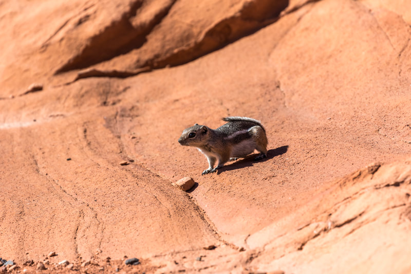 Chipmunk Red Rocks Nevada
