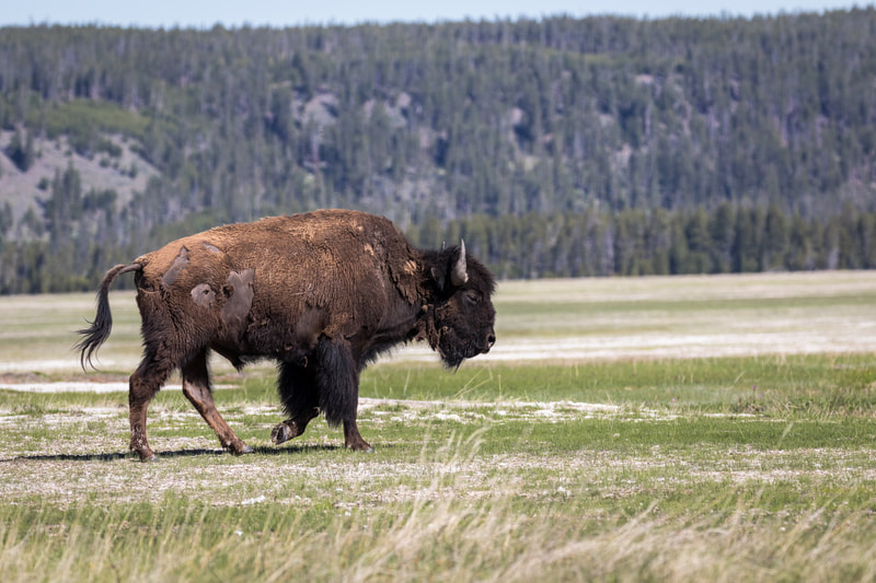 Bison / Buffalo – Grand Teton National Park