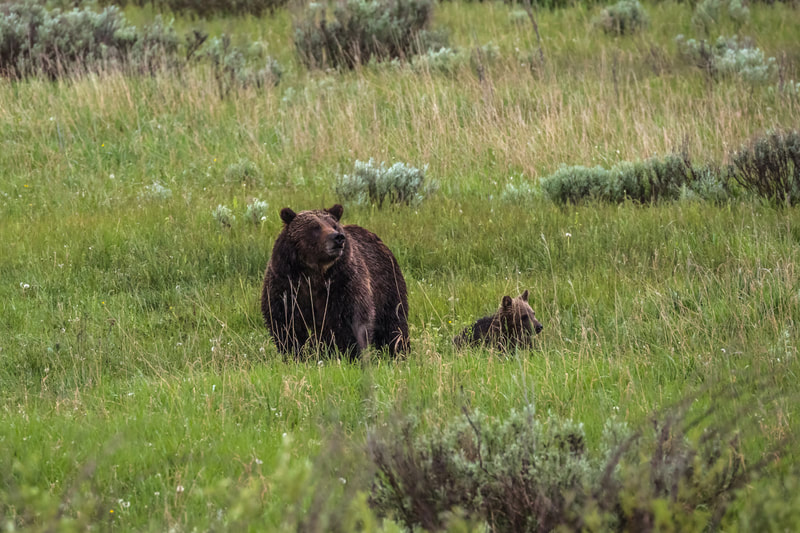 Grizzly Bear with cub – Grand Teton National Park
