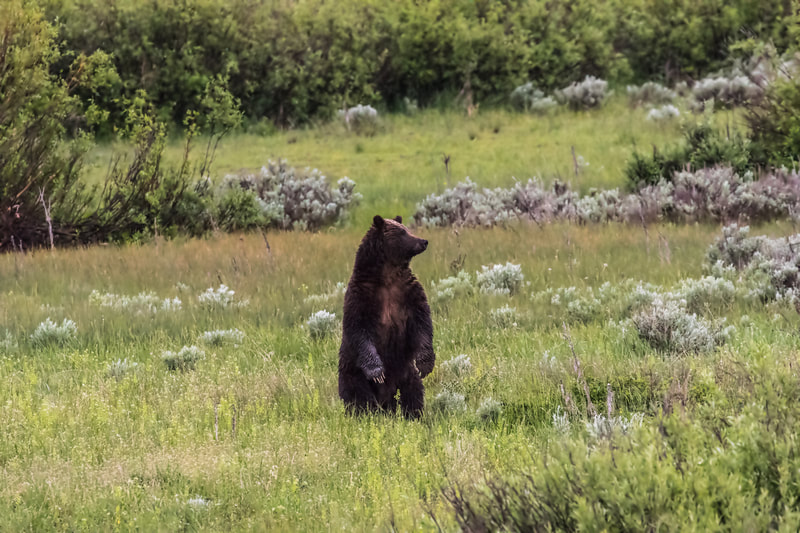 Grizzly Bear – Grand Teton National Park