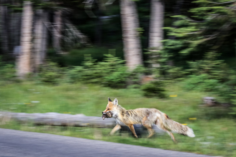Fox running with prey - Grand Teton National Park