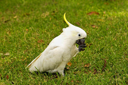 Cockatoo  -  Australia