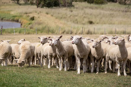 Flock of Sheep – New Zealand